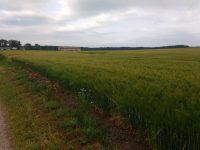 Landschaft, Gerstenfeld im Vordergrund