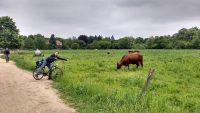 Kühe auf der Wiese, davor ein Radfahrer